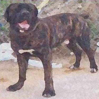 Registring All bully dog breeds including the American